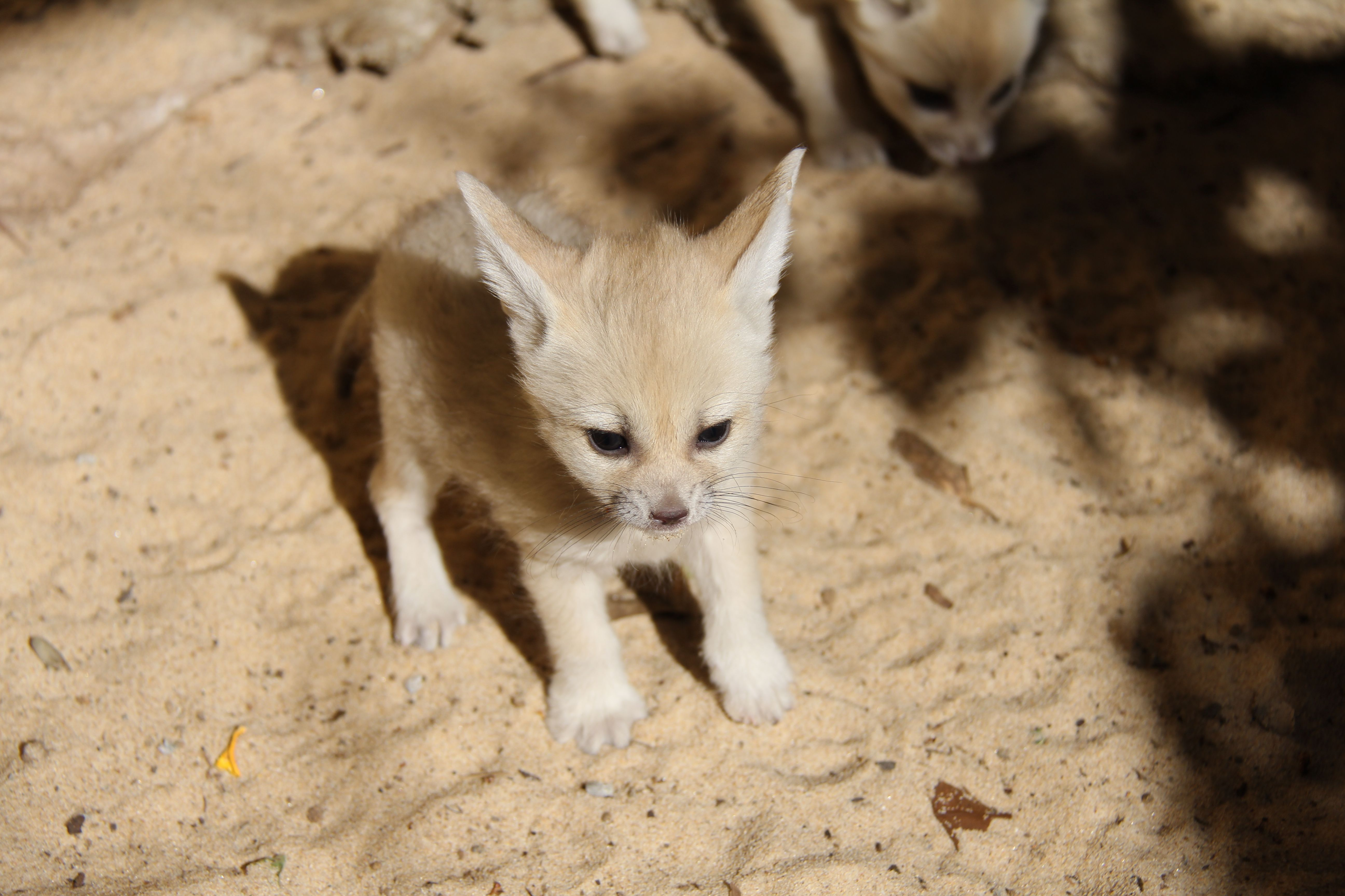 Fennec Fox Kits Taronga Fennec Fox Pet Fox Animals Beautiful
