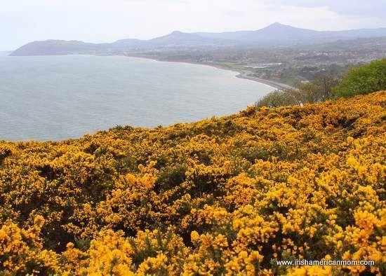 Furze the yellow flower of the irish landscape amazing ireland furze the yellow flower of the irish landscape mightylinksfo Images