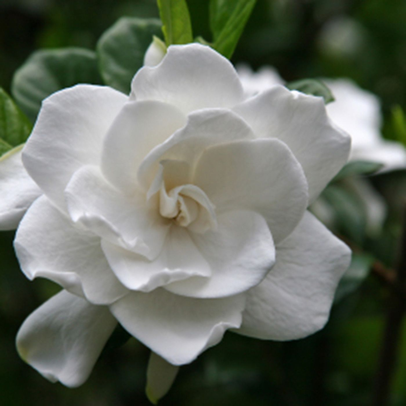 Gardenia edible perfume spray gardenias sprays and privacy trees gardenia edible perfume spray mightylinksfo
