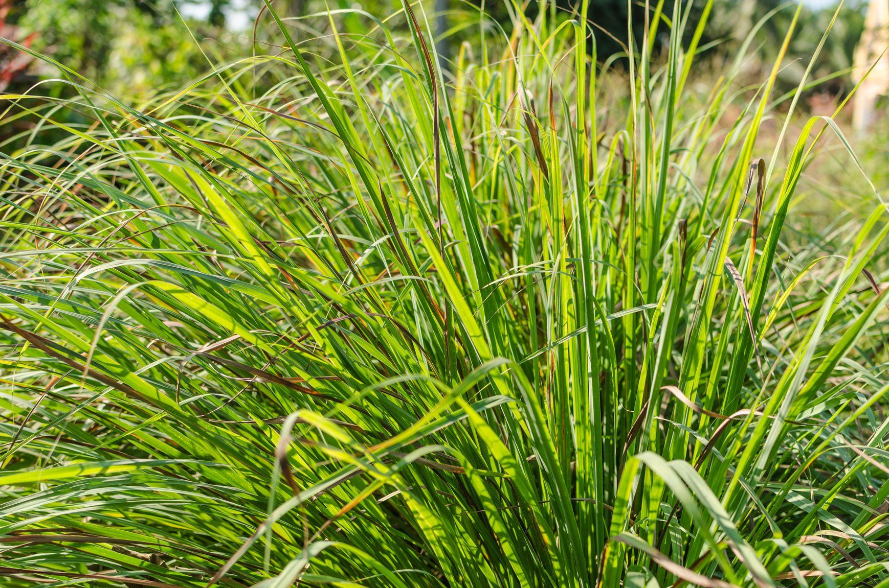 Lemongrass monrovia lemongrass plants pinterest for Grass like flowering plants