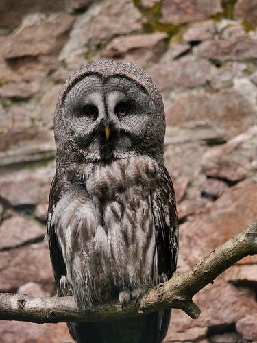Great Grey Owl | Great grey owl, Gray owl, Owl
