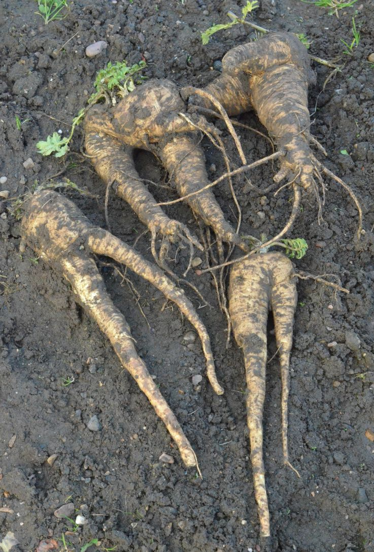If your soil is stony your parsnips and carrots will most