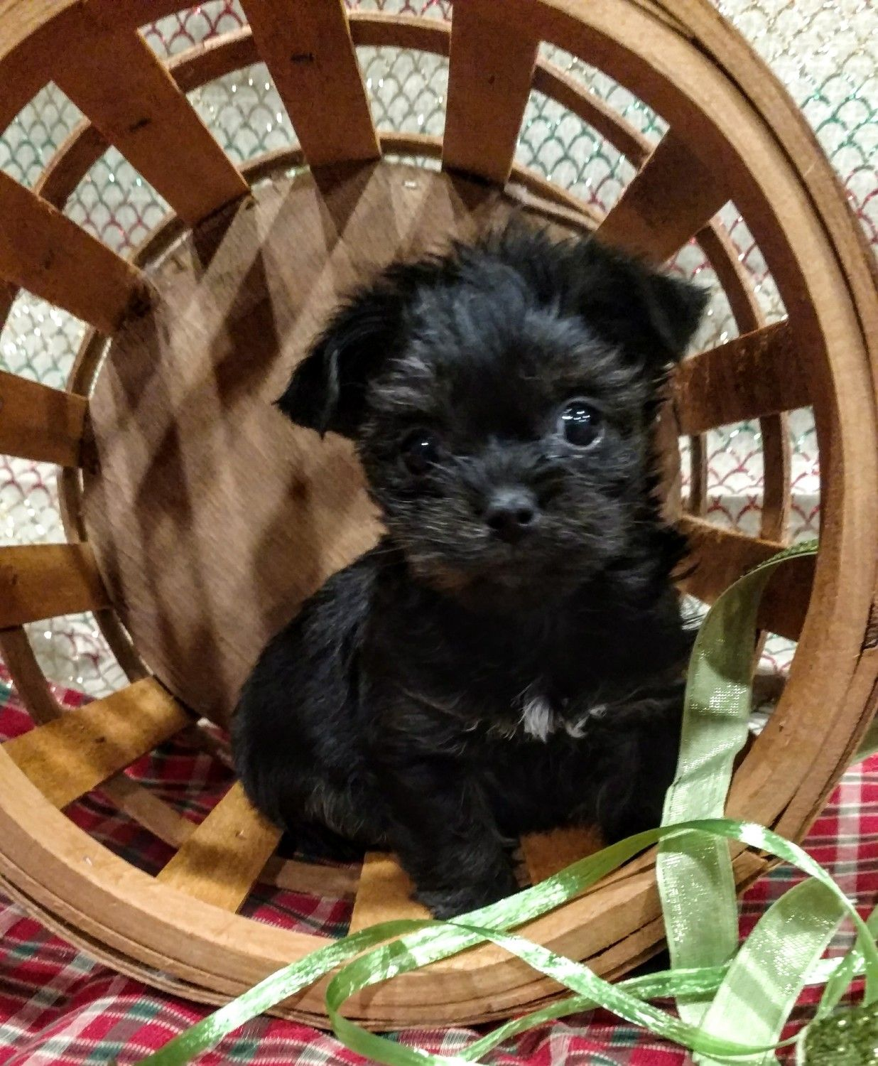 Morkie Poo Puppies For Sale In Illinois References