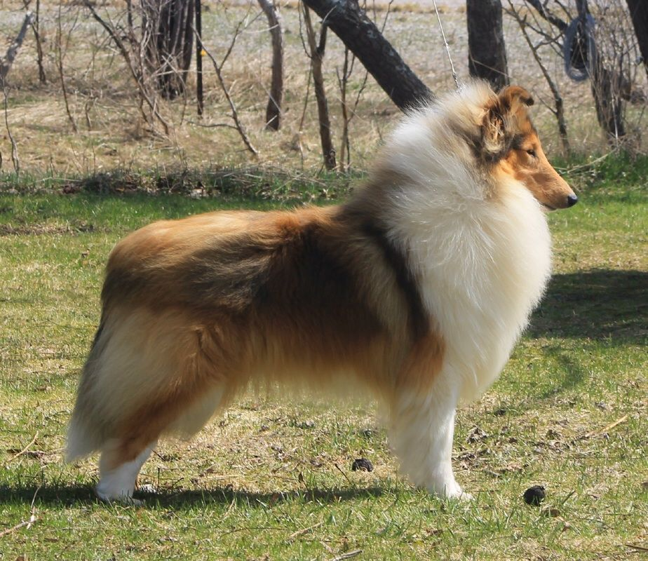 Gorgeous Sheltie Dogs Rough Collie Dog Breeds