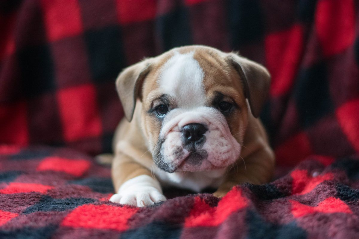 Teddy Puppies For Sale Bulldog Puppies For Sale Puppies