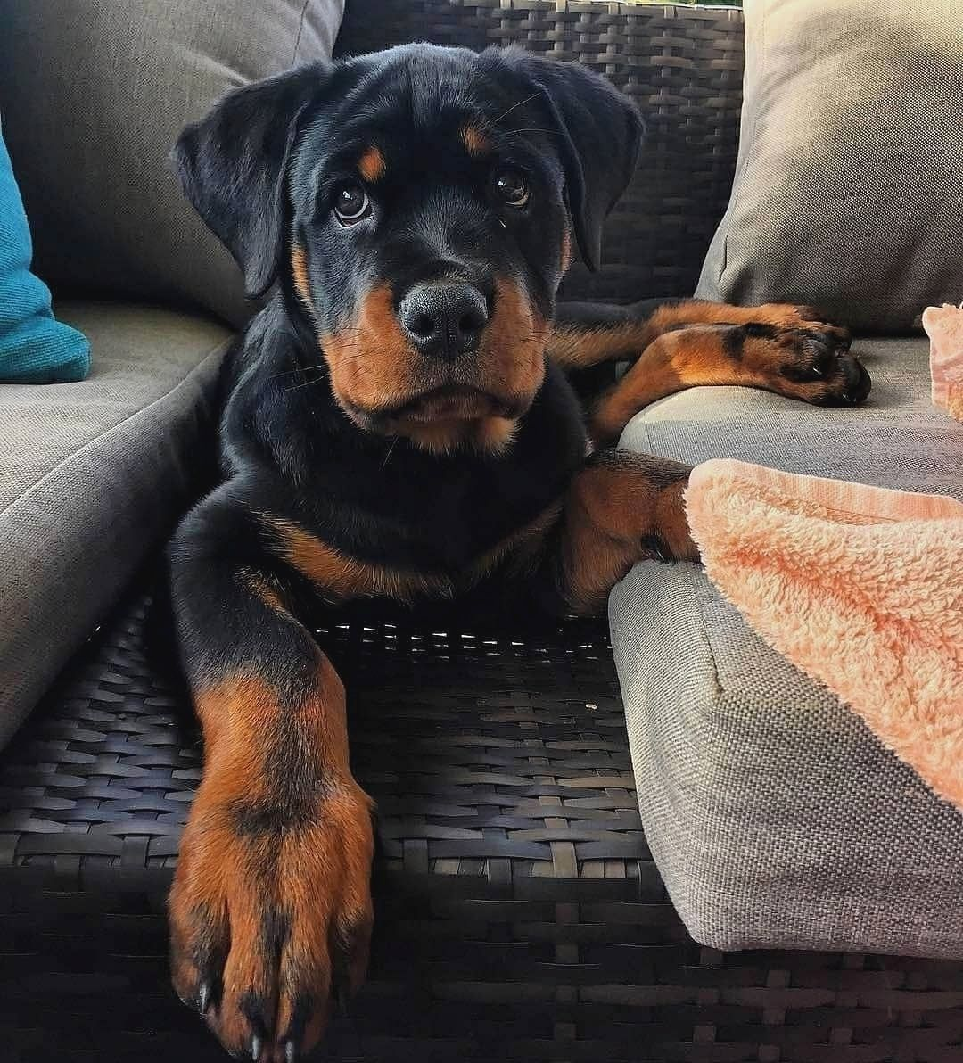 Rottweilers A True Family Dog Family Dogs Breeds Rottweiler