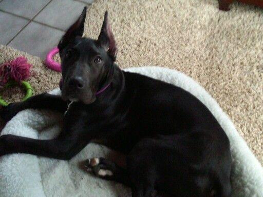 Mr. Wrigley black Great Dane puppy