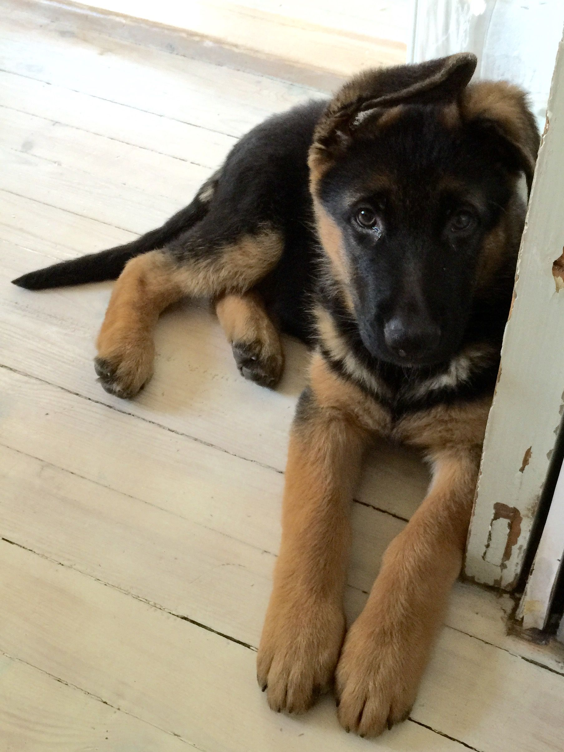 Gsd puppy baby german shepherds gsd puppies puppy time