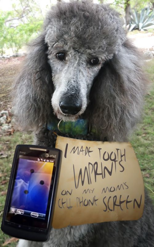 What Has Rain Been Up To Poodle Dog Dog Shaming Poodle