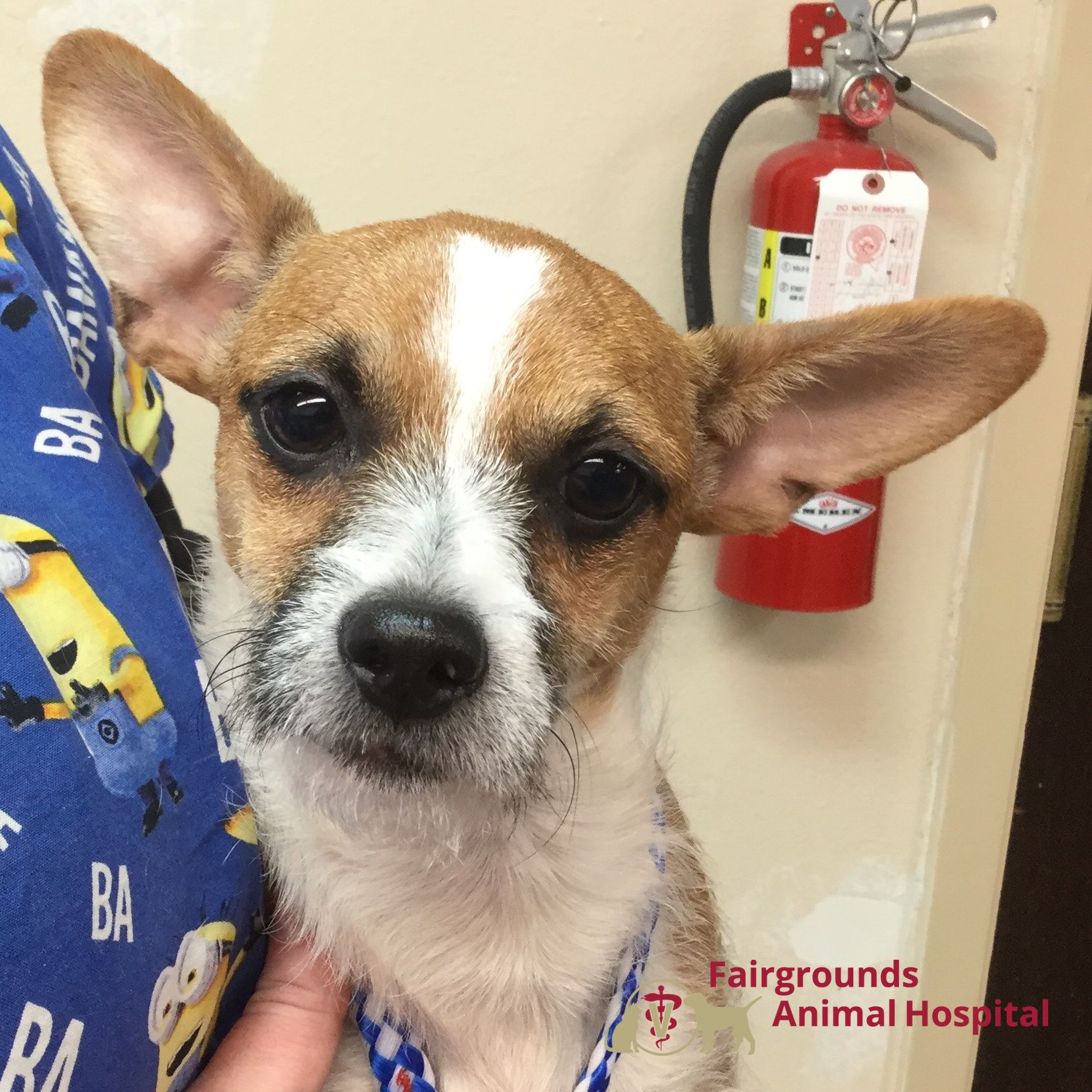 Oingo was seen at Fairgrounds Animal Hospital for a dental