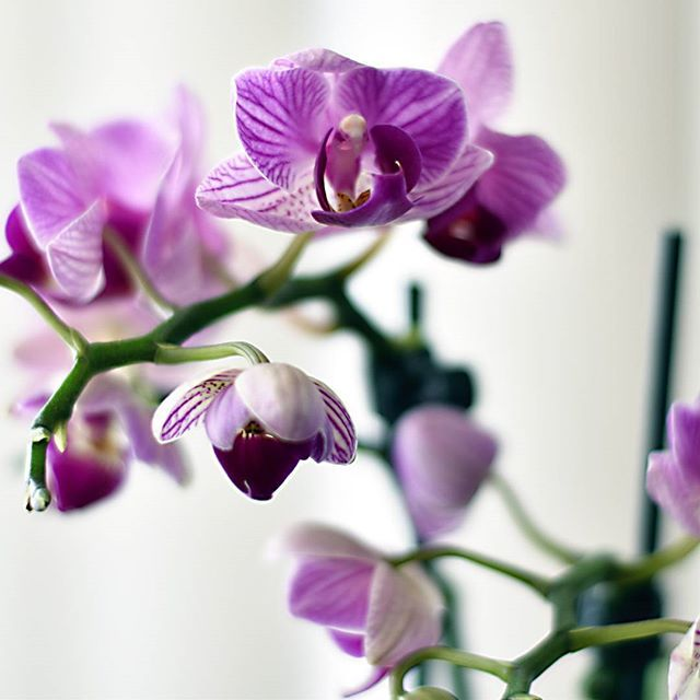 My mini #orchid is doing well