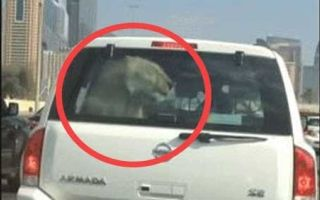Video Joyriding Lion On Dubai S Sheikh Zayed Road Safari Http