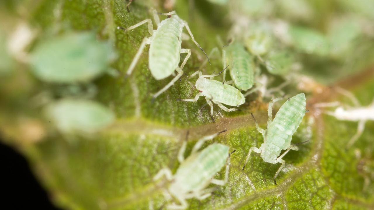 Blattläuse Kräuter