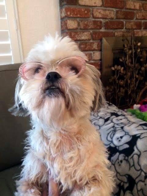 New Glasses Puppies Shih Tzu Cute