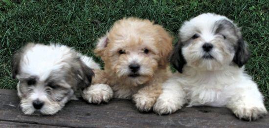 Adorable Teddy Bear Puppies Madison Wisconsin 53718 Teddy Bear