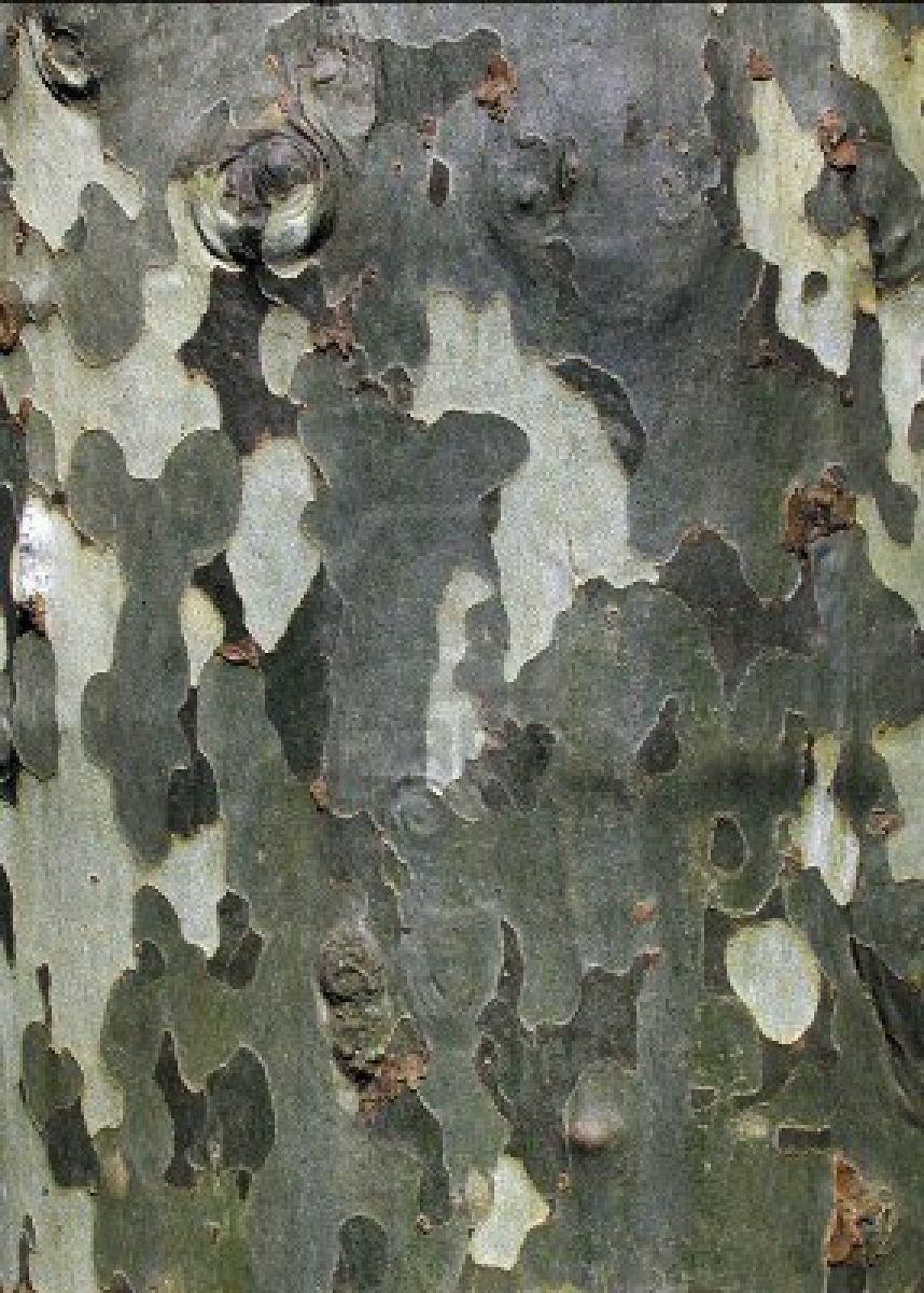 Camouflage Pattern Like Platanus Sycamore Tree Bark Sycamore Tree Beautiful Tree Sycamore Seed