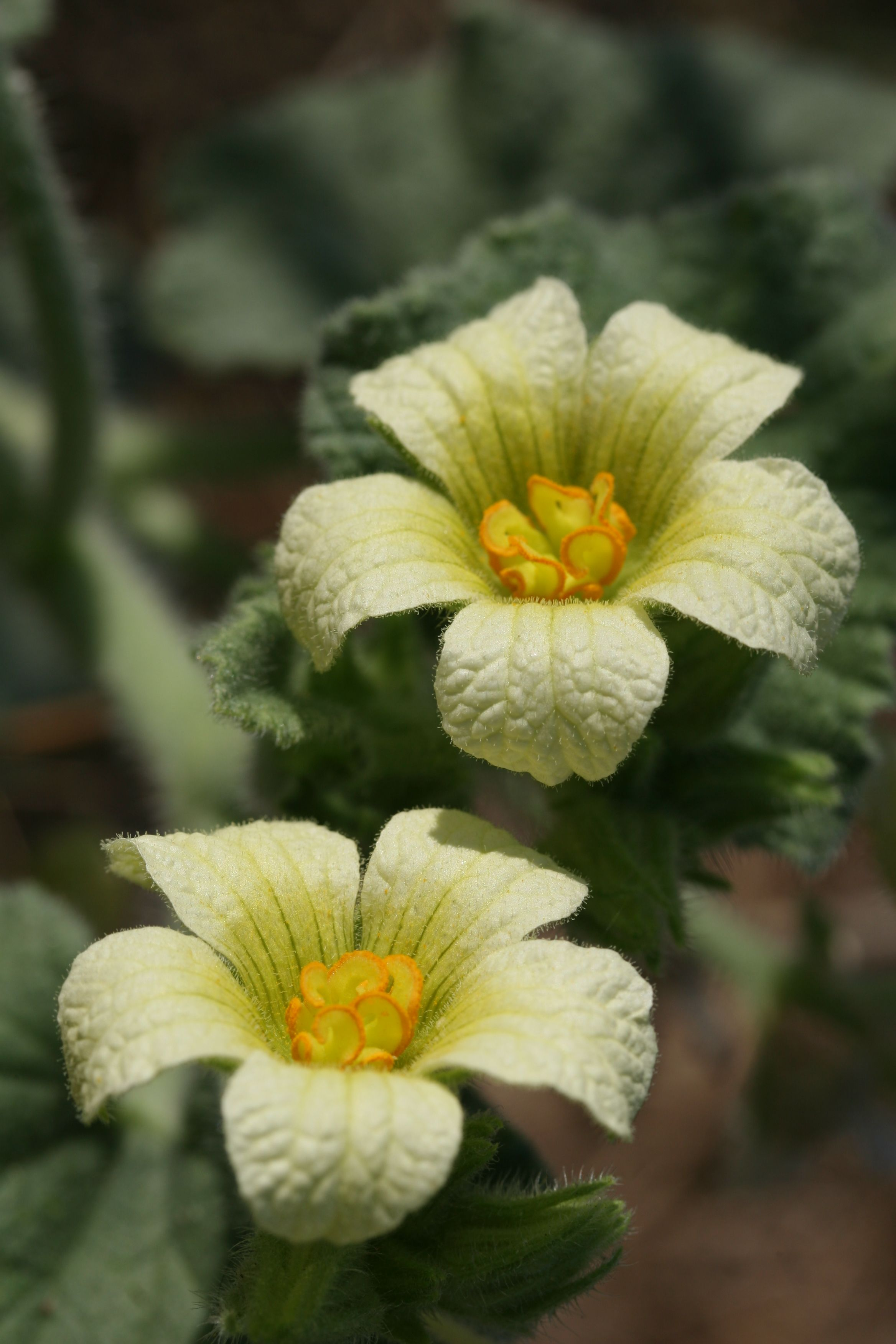 Unidentified Yellow Ground Flower Weed Southern Spain In The