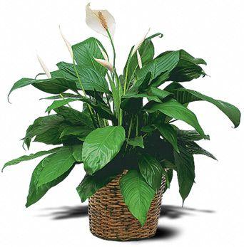 Plantas de interior fotos y nombres precisa de for Plantas para oficina