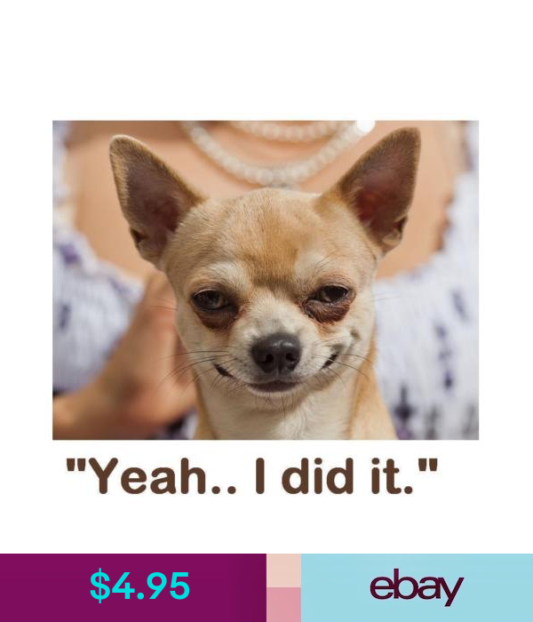 Dogs 17 8 X 10 Tee Shirt Iron On Transfer Smirking Chihuahua Ebay Home Garden Baby Dogs Very Cute Dogs Chihuahua Love