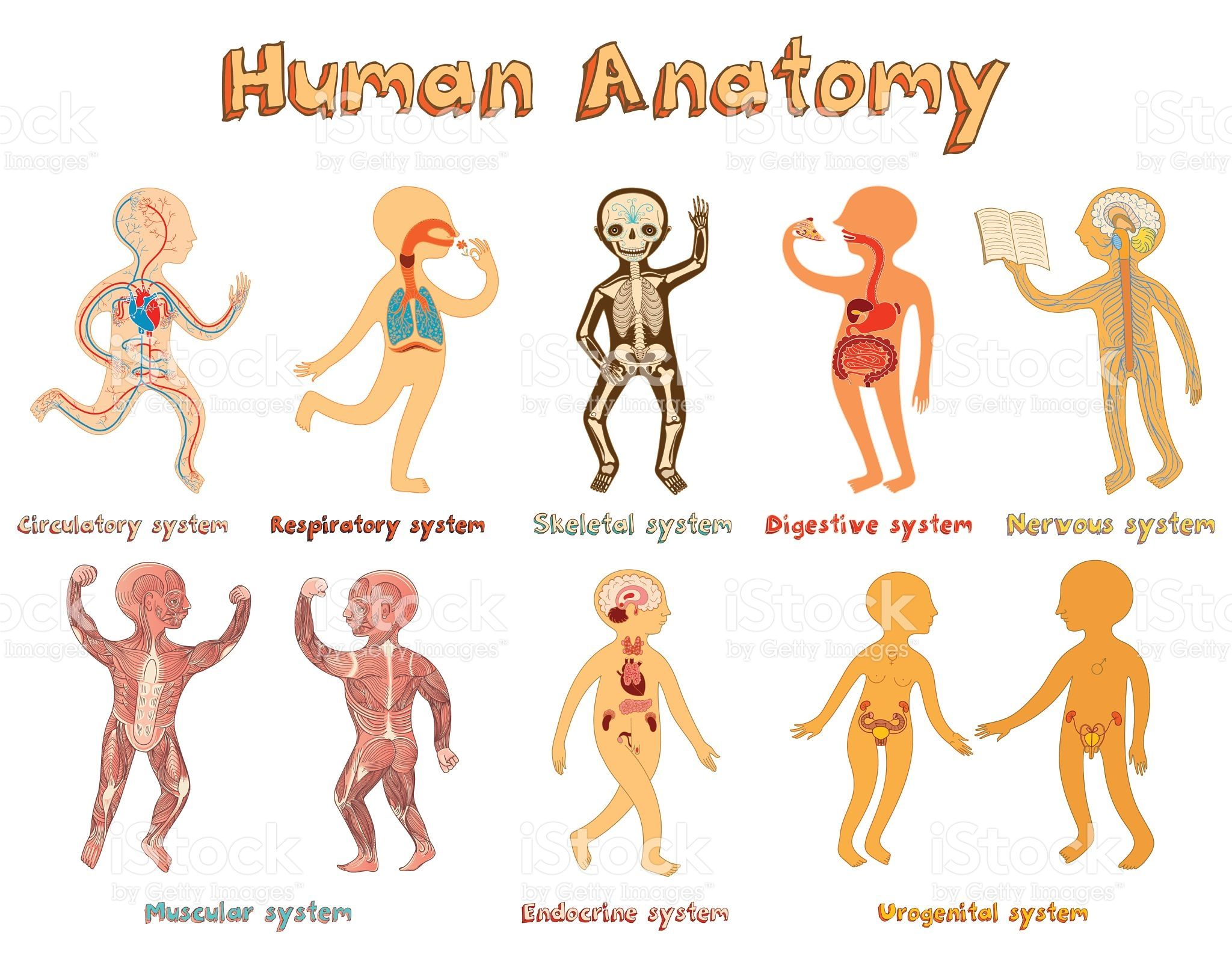 educational illustration of human anatomy systems of organs for in 2020 menschen illustration menschliche anatomie illustration educational illustration of human