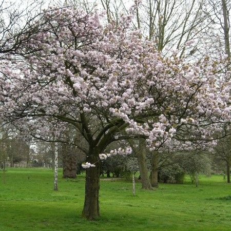 Blushing Bride Flowering Cherry Trees For Sale Online View Now Flowering Cherry Tree Tree Cherry Tree