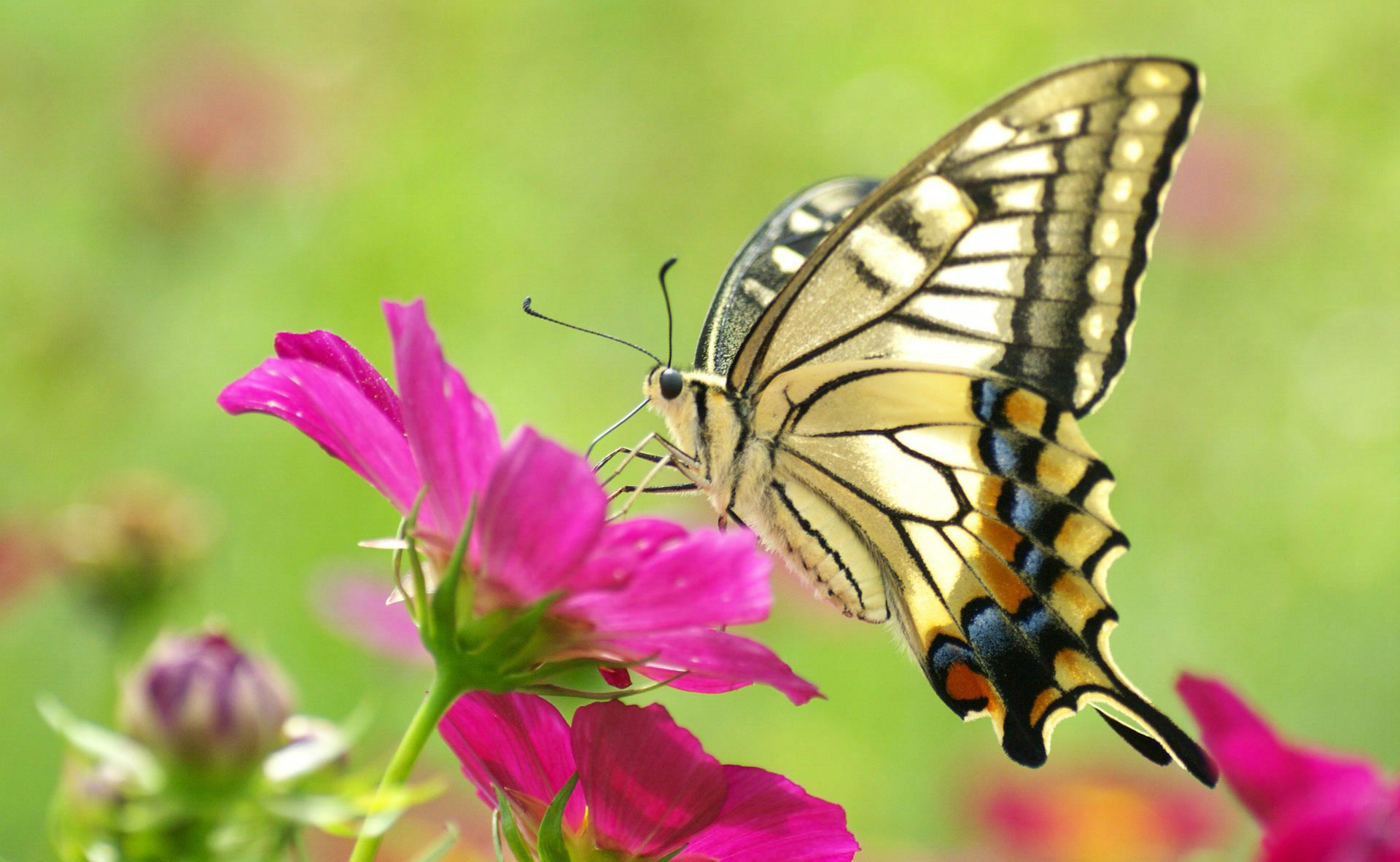 Pictures of butterflies and flowers flower butterfly for Butterfly in a flower