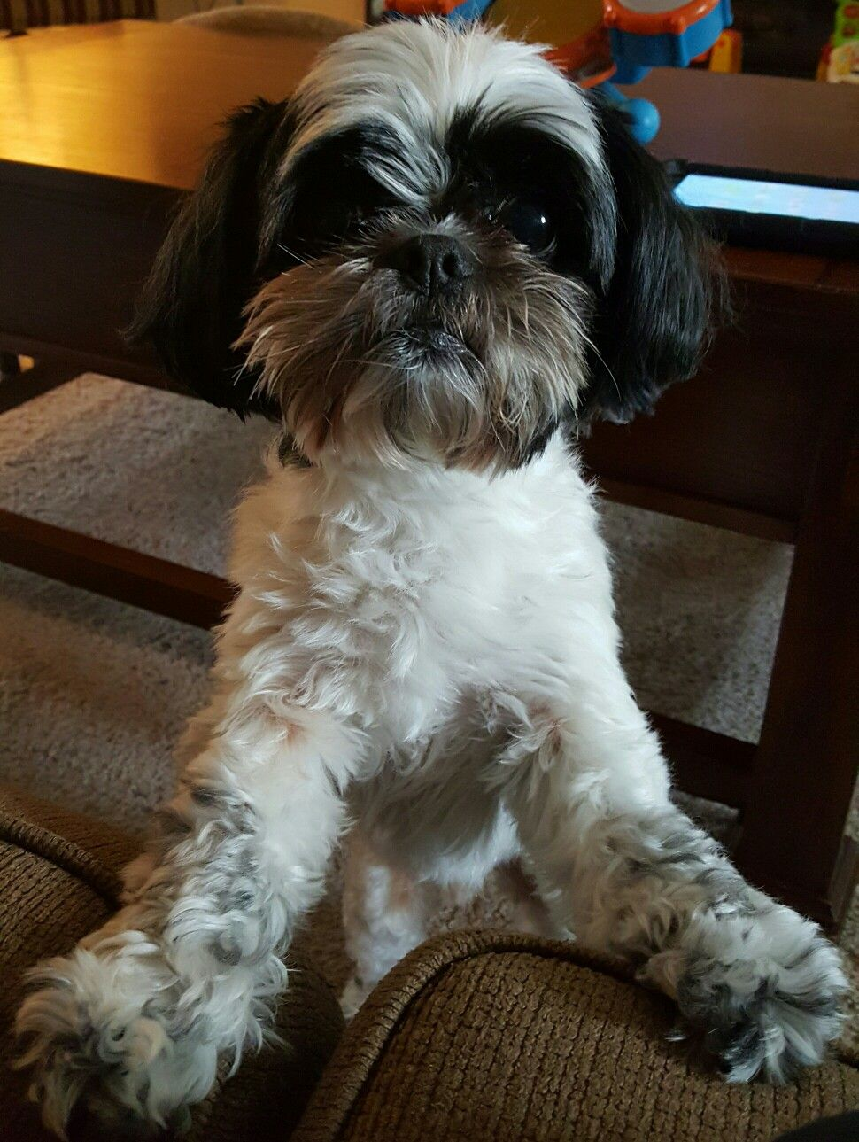 Pin by chrissy roepke on food shih tzu animals dogs
