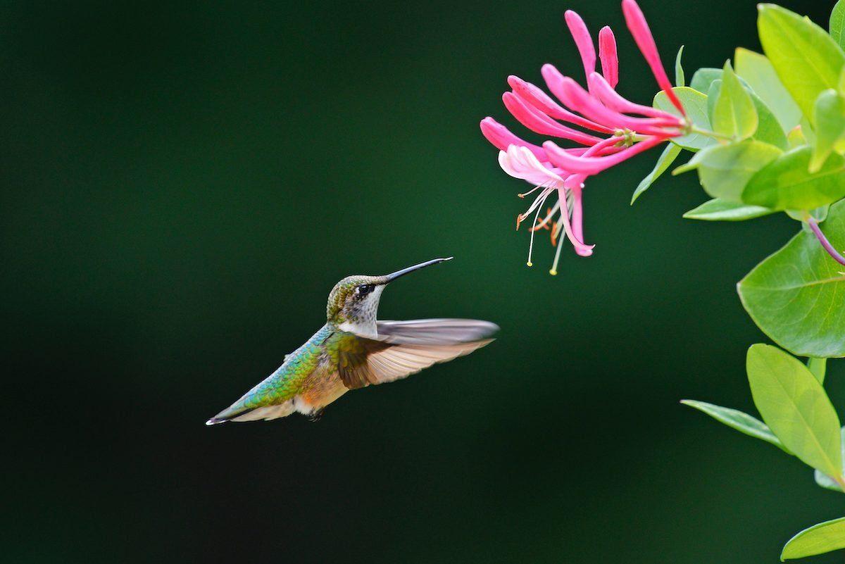 Top 10 Colorful Flowers Hummingbirds Love