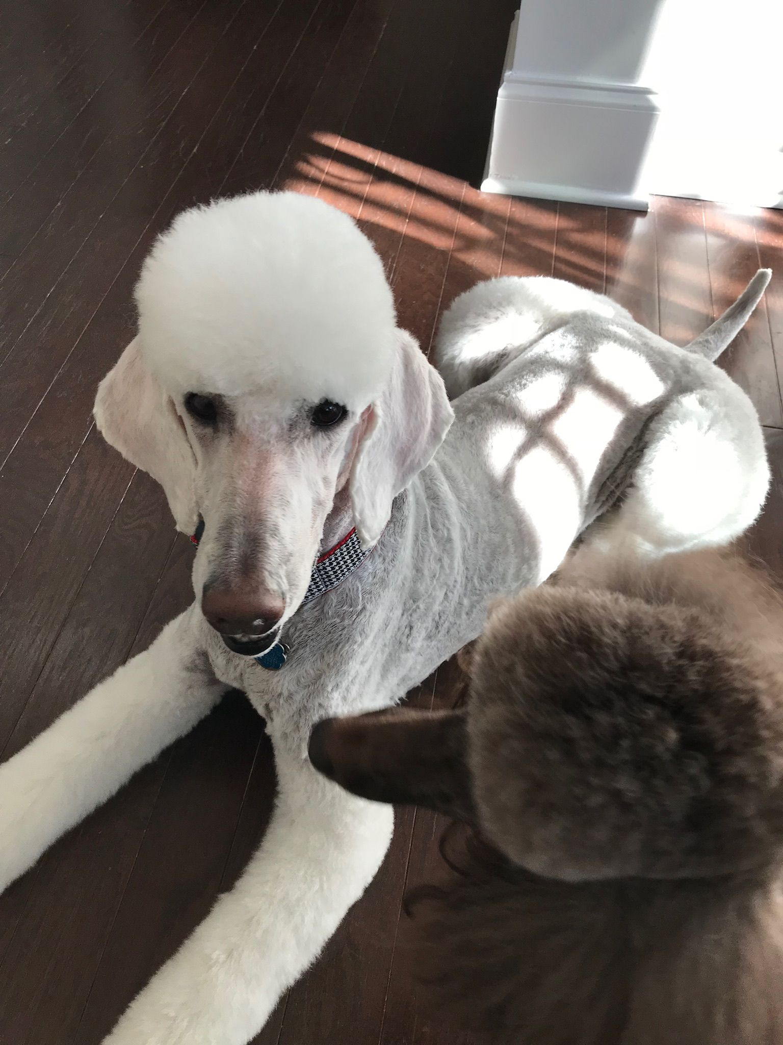 Pin by Cecie Anderson on Poodles Poodle grooming, Poodle