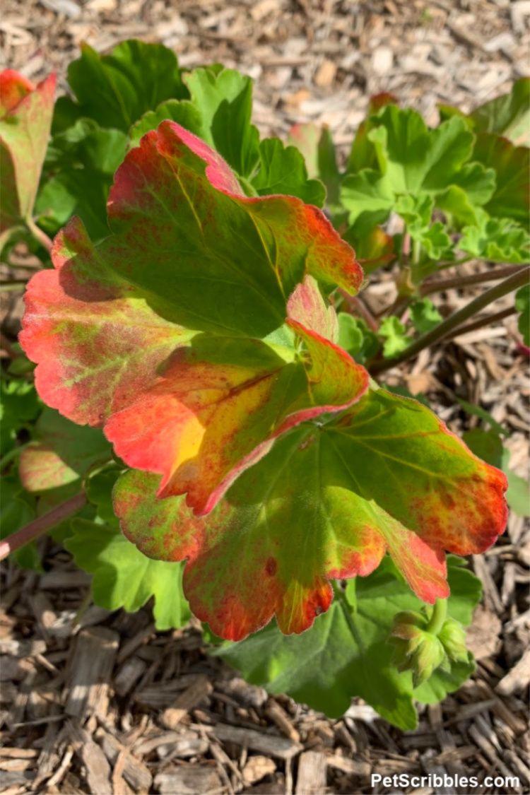 Geranium Care — How to Grow Annual Geraniums in 2020