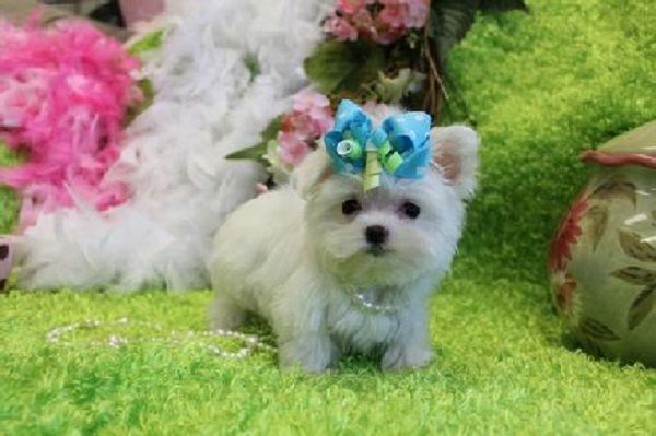 Teacup Maltese Puppies For Sale In Georgia Zoe Fans Blog