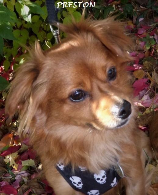 Adopt Preston On Dachshund Mix Chihuahua Pets