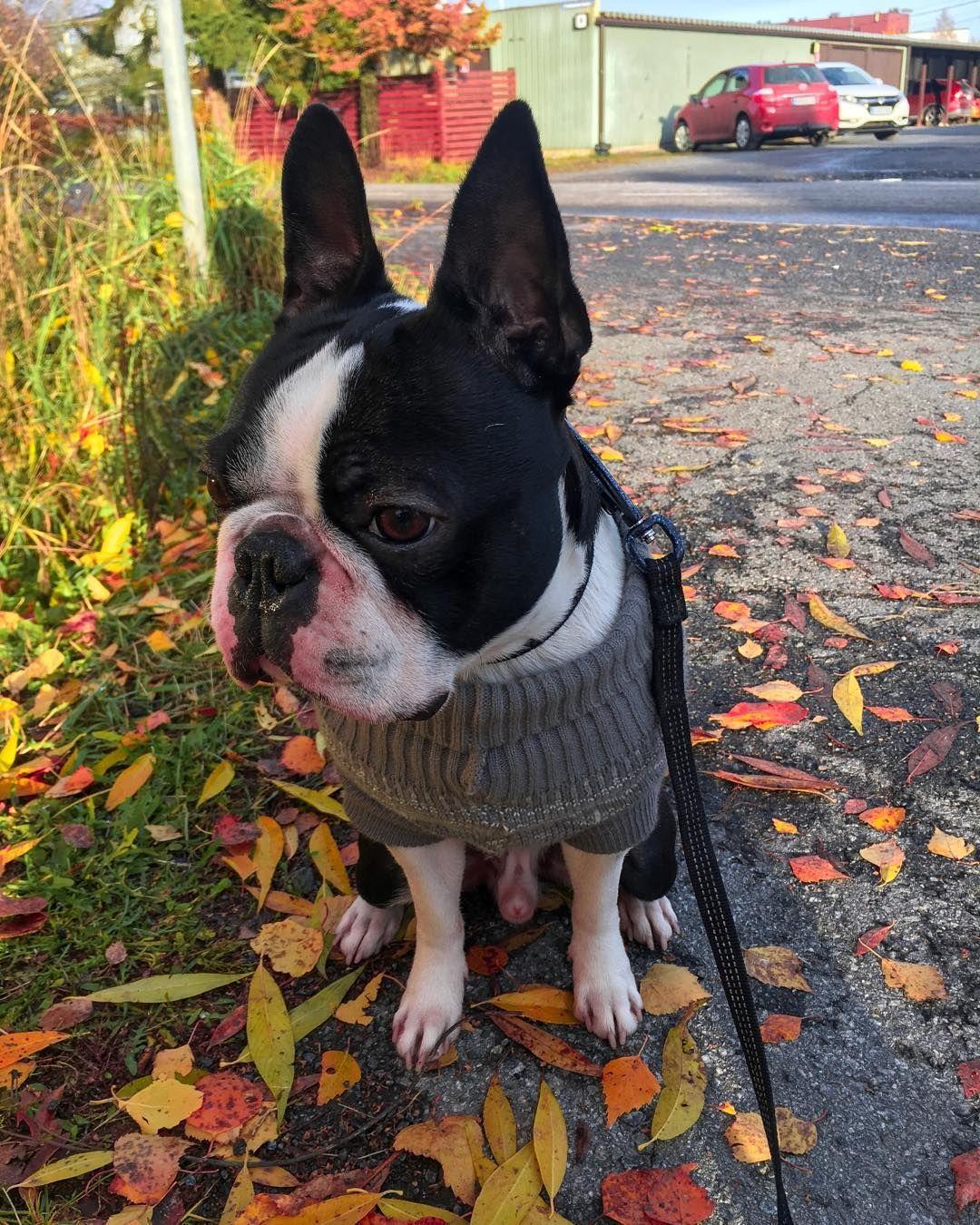 Bostonterriers Bostonterrier Dog Dogs Animals Dogphotography Rollenelamaa Seinajoki Animals Animalpics Finlan Puppy Breeds Puppies Cute Puppy Breeds