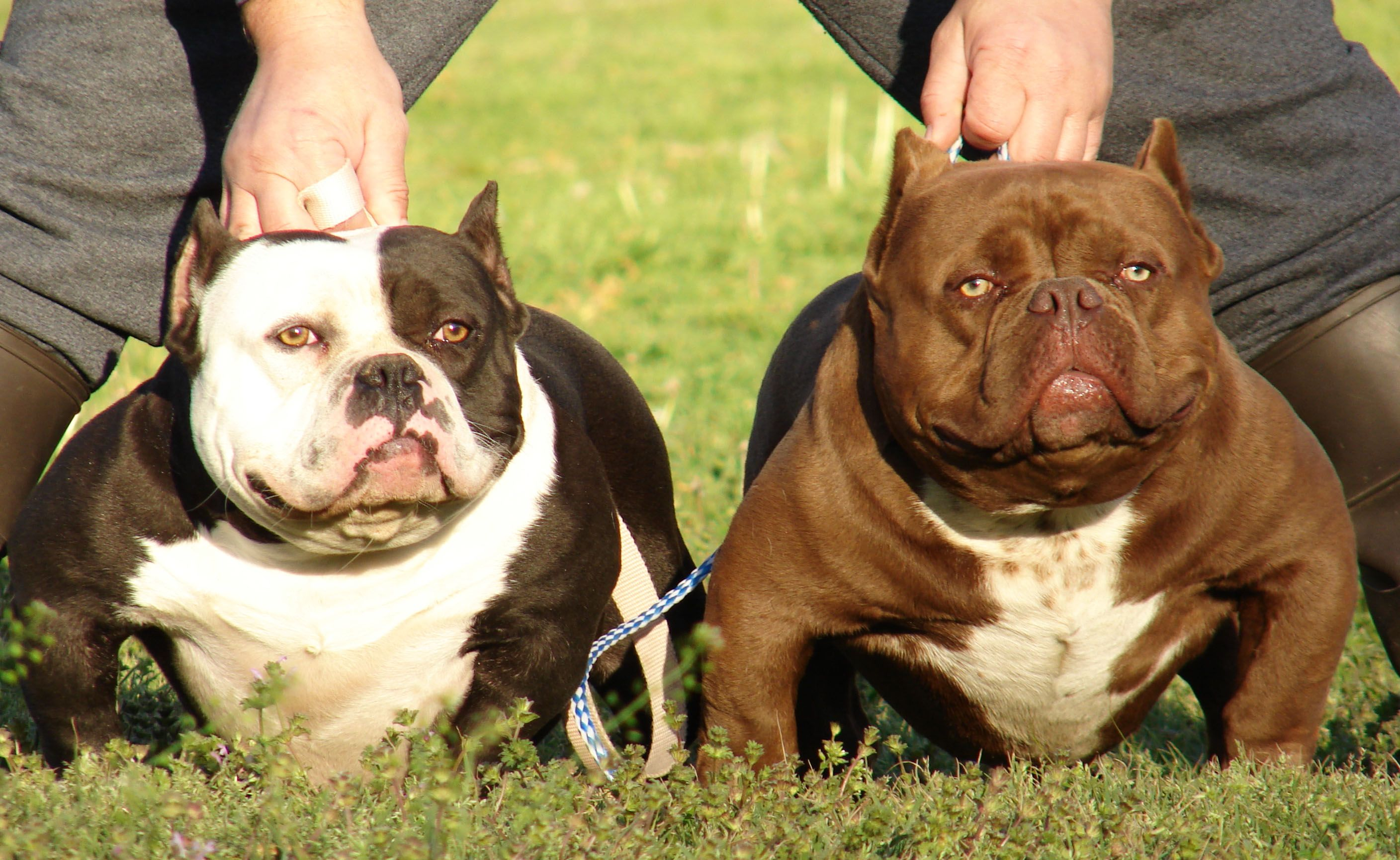 Are Bully S Good Family Dogs