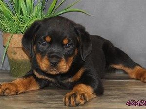 Dogs and Puppies for Sale in Ohio (With images) Dapple