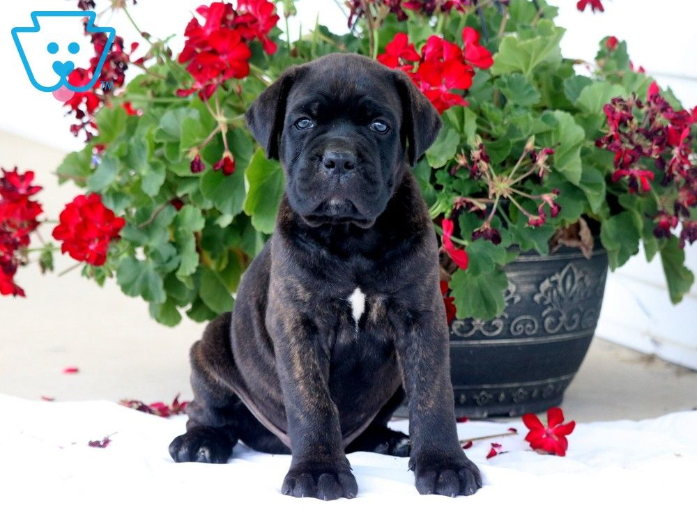 Meet Sasha a cute Cane Corso Mastiff puppy for sale for