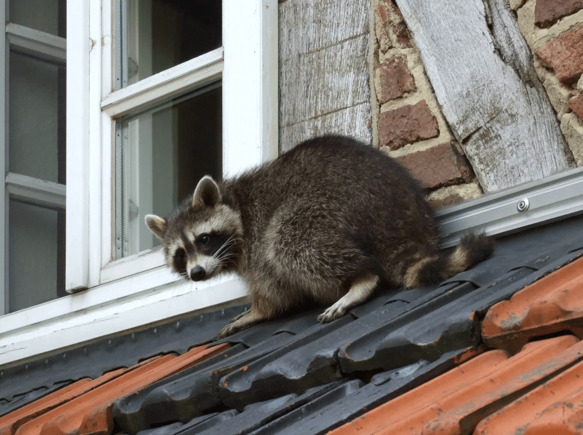 Unsound Sounds 7 Noises You Don T Want To Hear From Your House Raccoon Repellent Rodent Control Raccoon