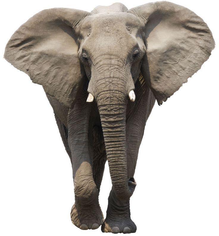 576ac0a999ecdd8bd12ef965ab188e62.jpg (736×792) | Anatomy: Elephants ...