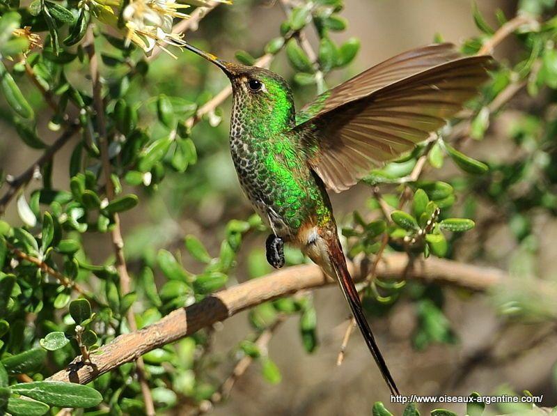 Colibri sapho (Sappho sparganura) - Oiseaux d\'Argentine | Colibri ...