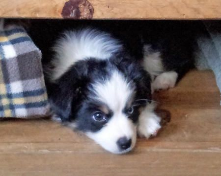 Sadie the Australian Shepherd