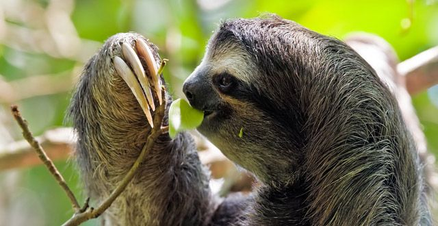But the shade-grown cacao plantation, with its tall trees and network of cables for moving the pods that ultimately become chocolate, seems to be a de facto refuge and transit hub for the two- and three-toed sloths.