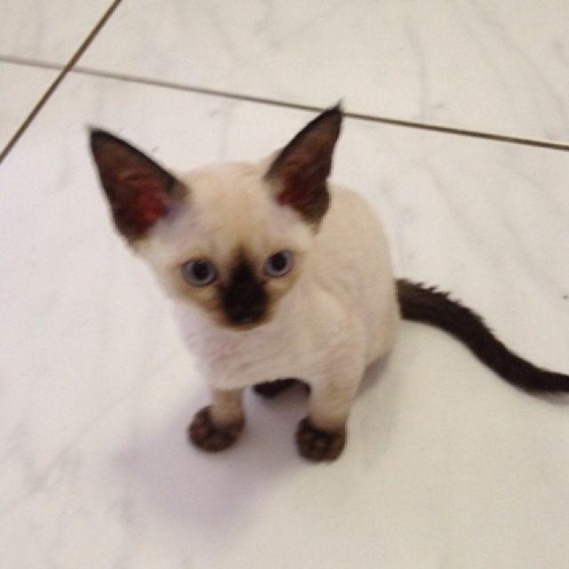 Adorable Devon Rex Kitty. Looks Like Siamese Yet