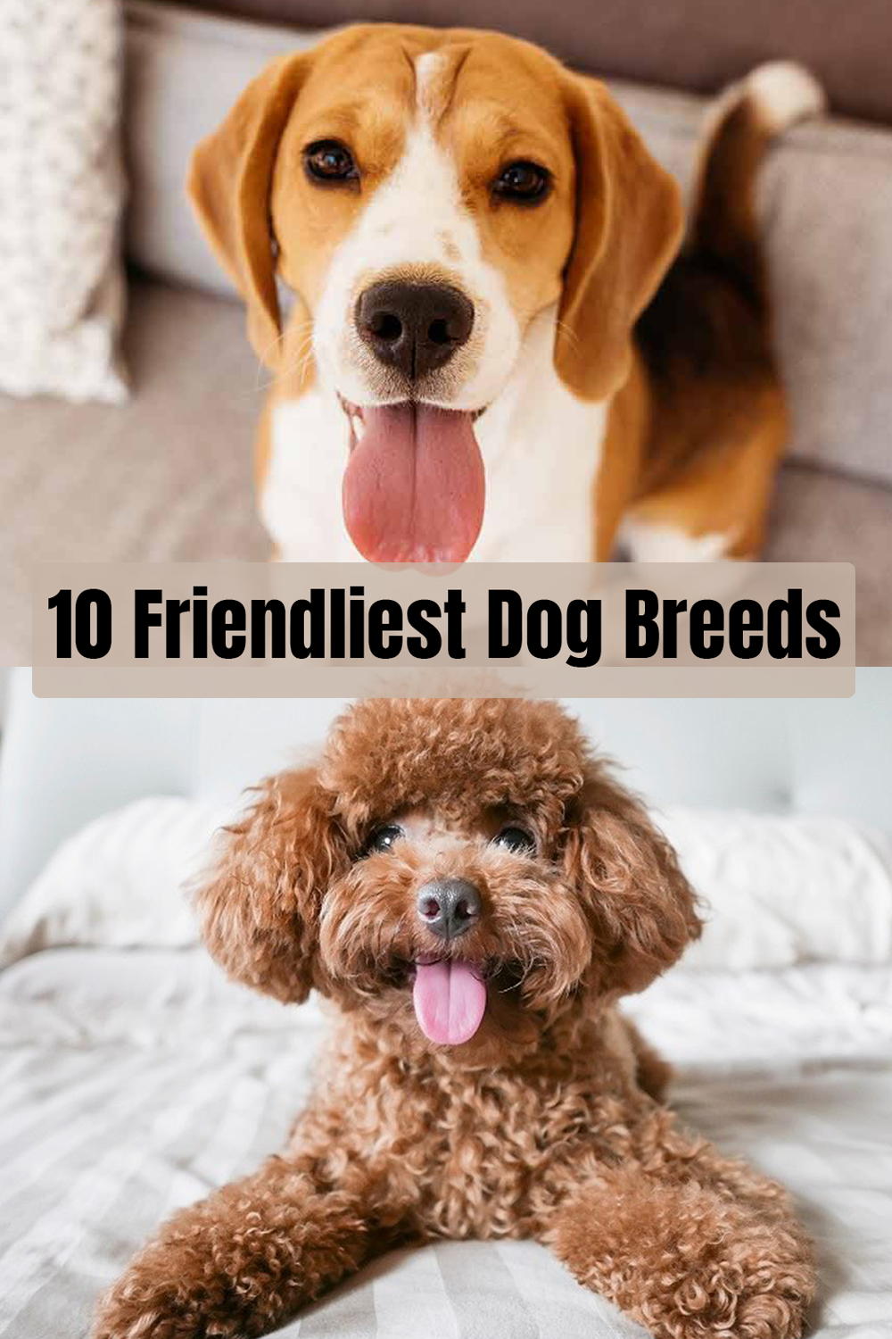 10 Friendliest Dog Breeds Friendly Dog Breeds Child Friendly