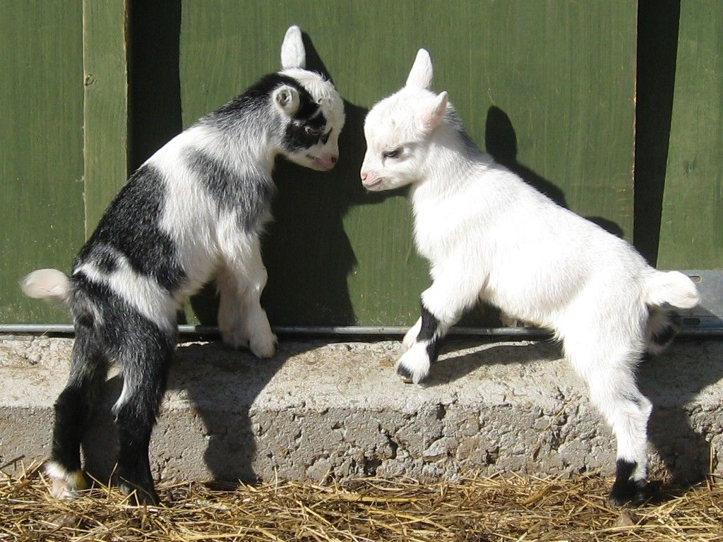 Baby Goats Latest Grow