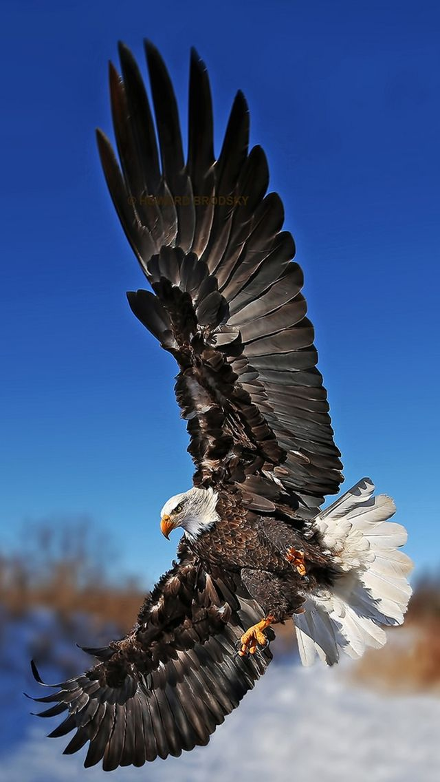 Eagle Bird. Collection of Wild Life Animals Wallpapers for