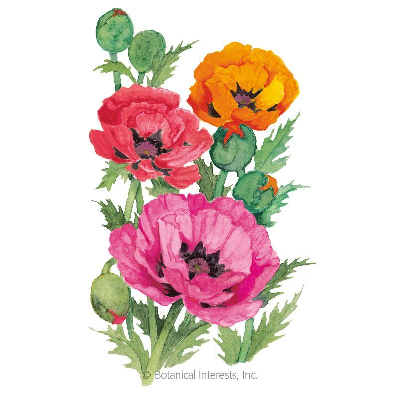 Oriental Blend Oriental Poppy Seeds Fall Blooming Flowers Planting Poppy Seeds Poppies