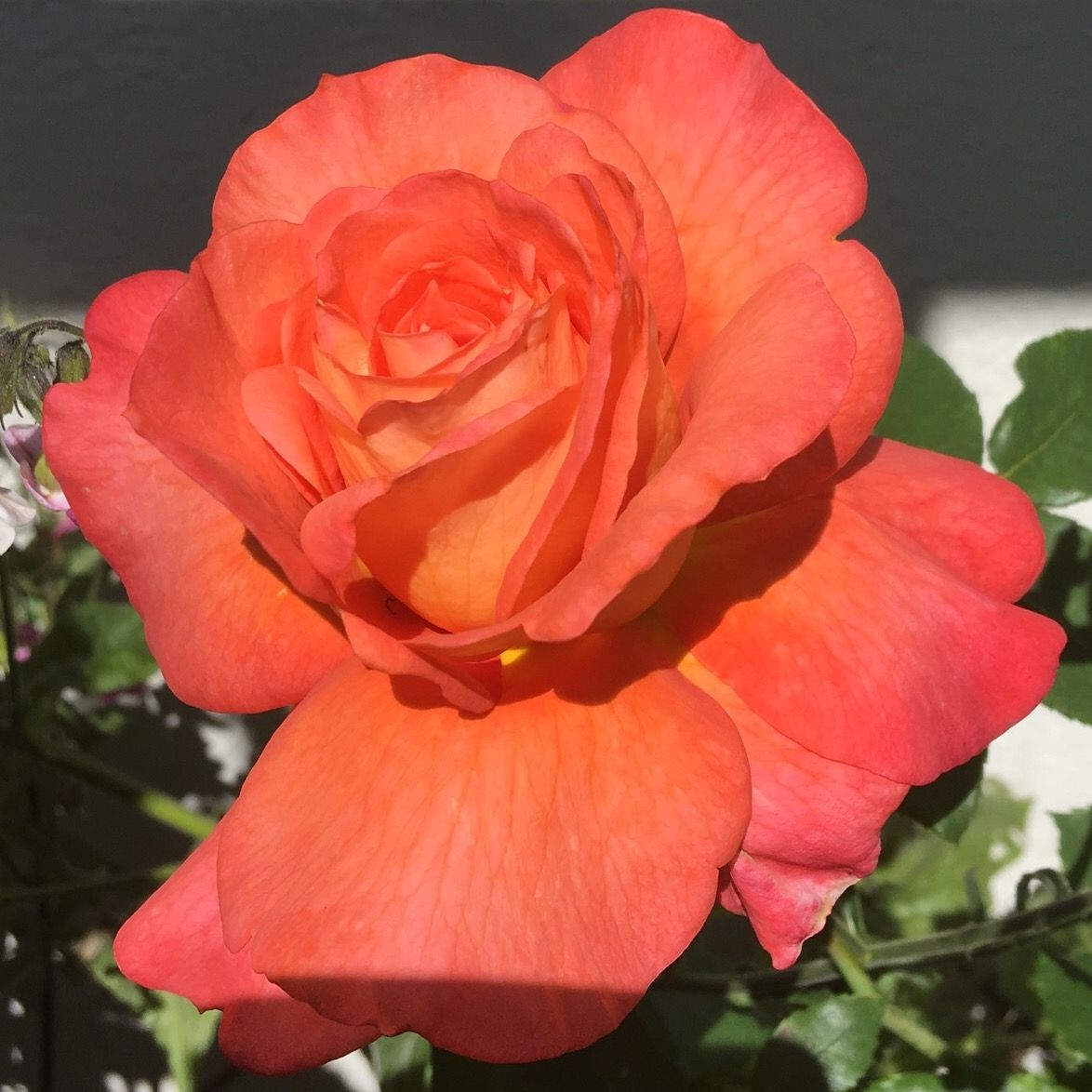 Perfect light for a gorgeous rose!