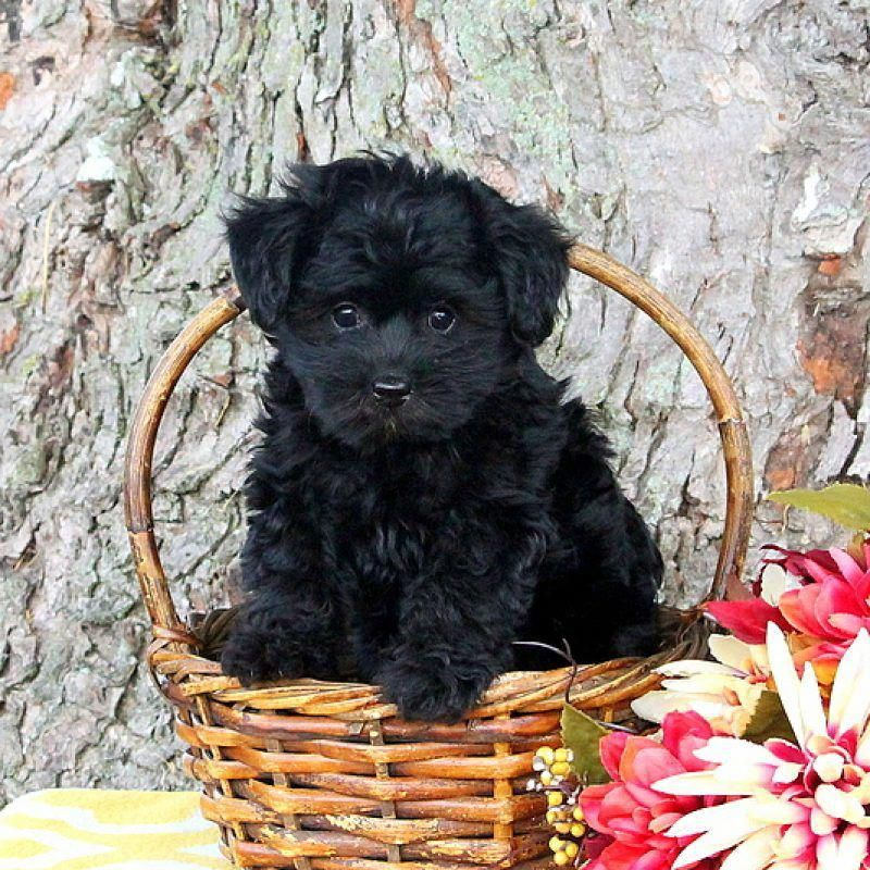 Acquire Fantastic Suggestions On Small Dogs They Are Available For You On Our Website Yorkie Poo Puppies Yorkie Poo Poodle Mix Puppies