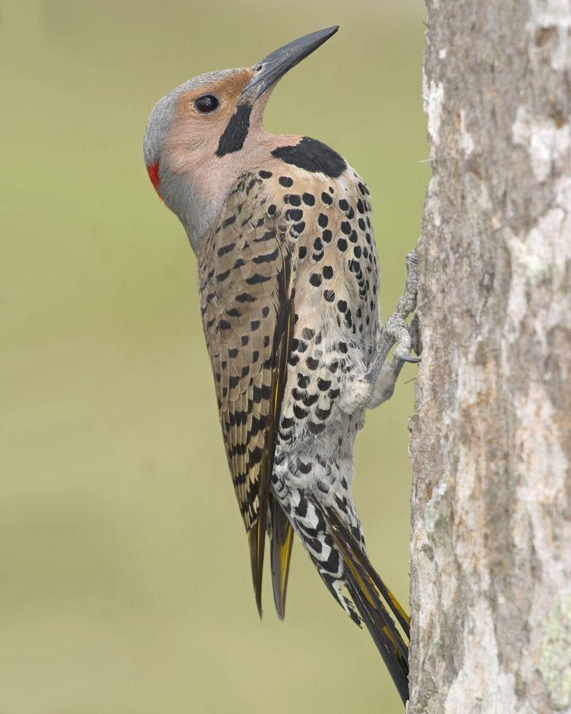 Northern Flicker   Northern flicker, Ontario birds ...