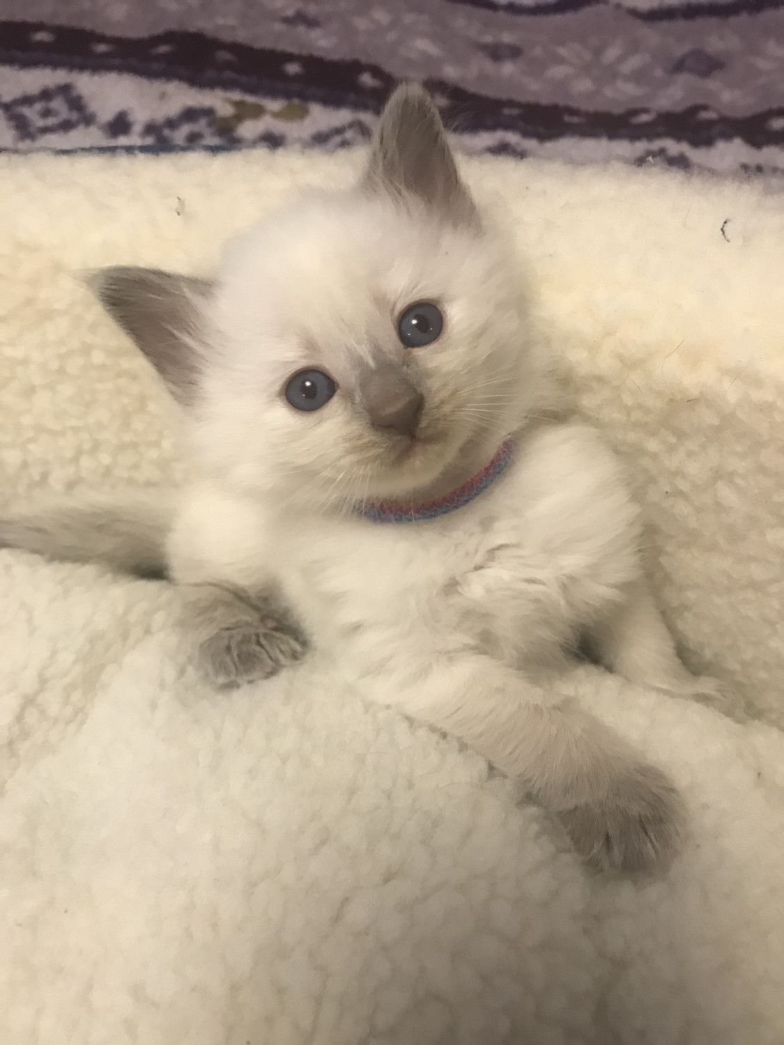 Balinese Cats For Sale Ponchatoula La In 2020 Balinese Cat Cats For Sale Cute Boxer Puppies
